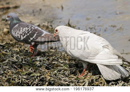 An albino pigeon in pursuit of a grey female as part of courtship behaviour