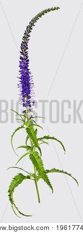 Blue flower salvia isolated on white background