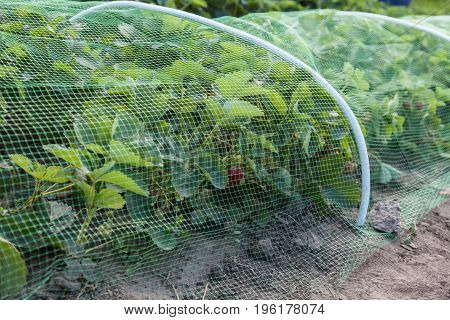 Strawberries bed covered with protective mesh from birds protection of strawberry harvest in the garden