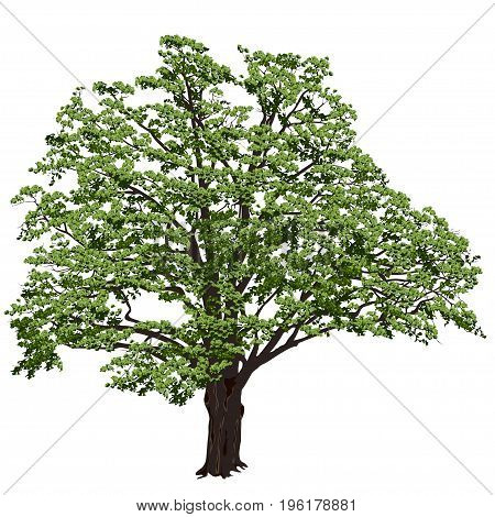 Big oak (Quercus) with green leaves on a white background in the color vector image