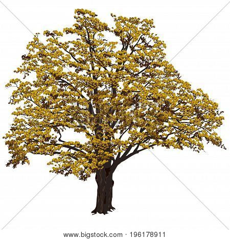 Big oak (Quercus) with yellow leaves on a white background in the color vector image