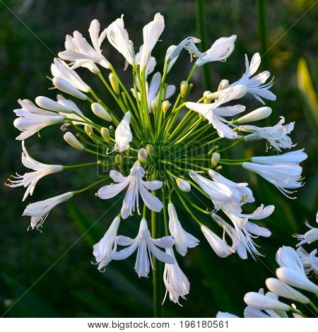 White Lily Of The Nile
