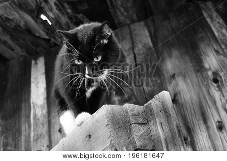 Black and white photo. Black and white cat is walking on wooden planks on old wooden wall  background.