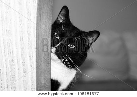 Muzzle of black and white cat is peeking out of the corner and looking at camera.