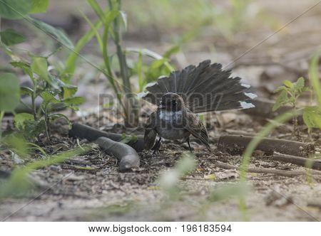 Malaysian pied fantail(Rhipidura javanica) beautiful bird standing in garden