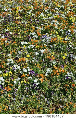 The Texture Of A Large Number Of Different Colorful Flowers Planted In A Flower Bed