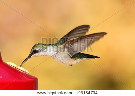 Juvenile male Ruby-throated Hummingbird (archilochus colubris) in flight at a feeder