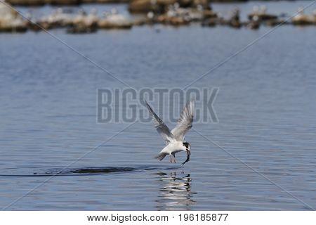 Arctic tern (Sterna Paradisaea) catching a fish mid-flight, Arviat Nunavut