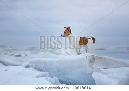 Dog Jack Russell Terrier Sitting On The Ice
