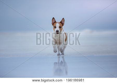 Dog Jack Russell Terrier running on the frozen lake