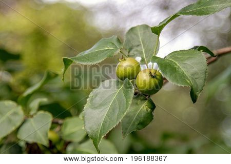 Image fruits of a wild pear ripen on a tree