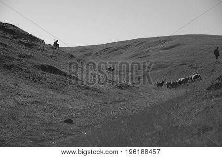 The shepherd watching the herd, flock of sheep.