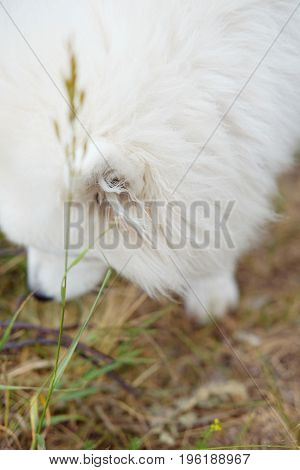 White Samoyed laika girl dog in the park outdoor in summer selective focus. Large breed herding dog.