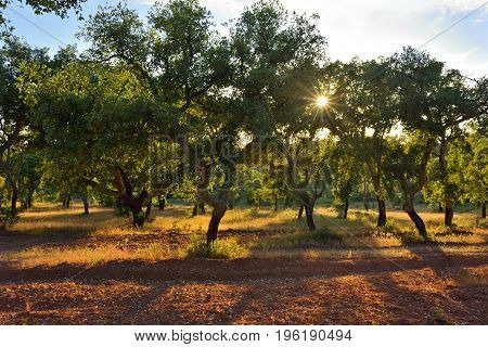 Cork oak grove at sunset (Quercus sube) Evora Alentejo Portugal