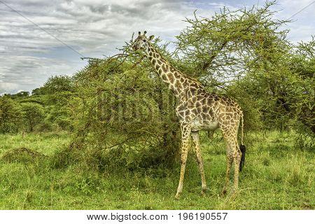 Giraffe in the Serengeti National Park, Tanzania
