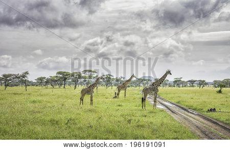 Three giraffes in the Serengeti National Park, Tanzania