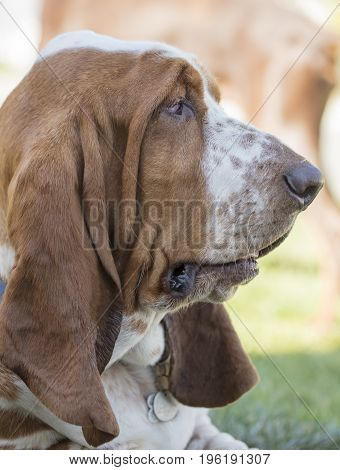 Brown and White freckled Brown and white droopy eyed freckled Basset Hound laying in a grassy area and posing for the camer.