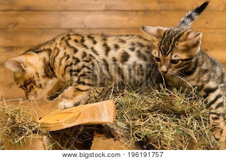 Two kittens play in the hills on wood against the background of a wooden wall