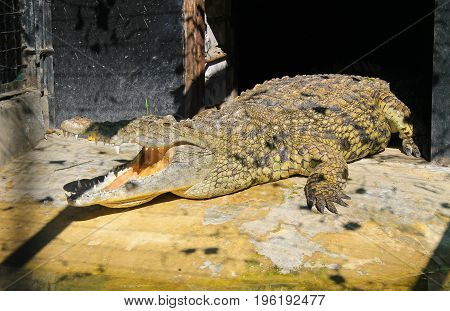 Crocodile in a cage in a zoo