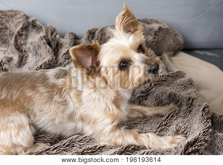 One Yorkshire terrier laying down on a brown blanket, with a brown background