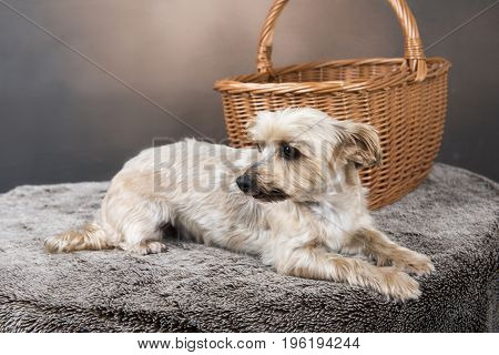 One golden Yorkshire terrier laying down in front of a wicker basket