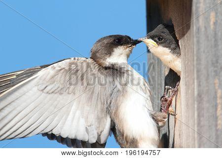 Female Tree Swallow (tachycineta bicolor) feeding hungry babies