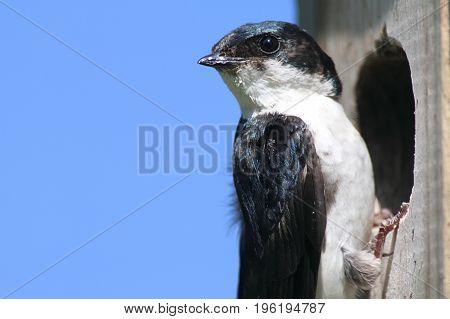 Tree Swallow (tachycineta bicolor) at a birdhouse