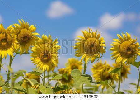 Field of blooming sunflowers on a blue sky with clouds. Background colorful sunflowers in bright summer.
