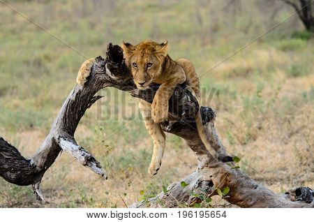 Young lion chilling out resting on the branch of a fallen tree