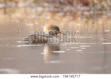 Female Hooded Merganser (Lophodytes cucullatus) swimming in a pond