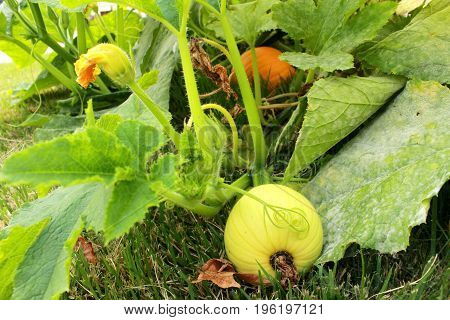 Two Pumpkins grow on vine under the leaves in a suburban home garden pumpkin patch showing a tendril leaves flower buds and pumpkins at separate stages of development.