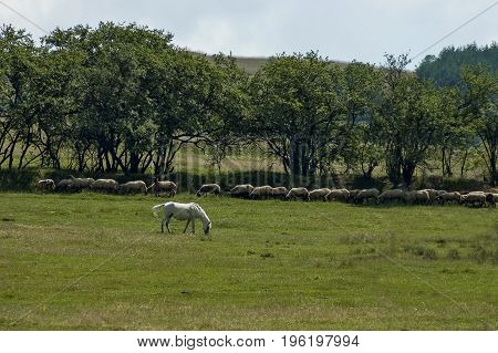 Summer field, group white sheep and  white horse in green meadow, Central Balkan mountain, Stara Planina, Bulgaria