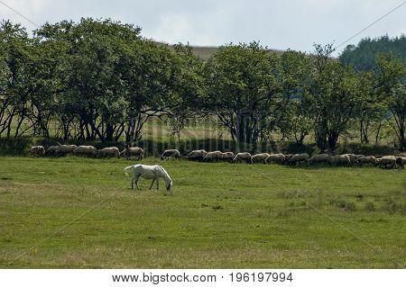 Summer field, group white sheep and  white horse in green meadow, Central Balkan mountain, Stara Planina, Bulgaria