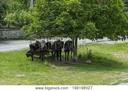 Summer meadow and group pack horses relaxation under big walnut tree  in Dushantsi village, Central Balkan mountain, Stara Planina, Bulgaria