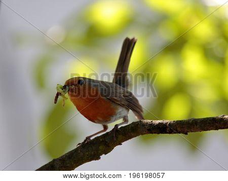 European robin (Erithacus rubecula) holding food against brighr fuzzy background, Podlasie Region, Poland