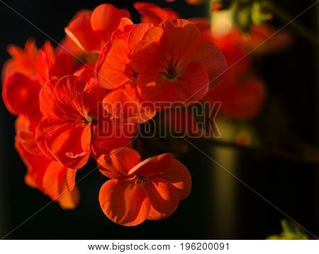 Bright Pelargonium Decorate The Yard