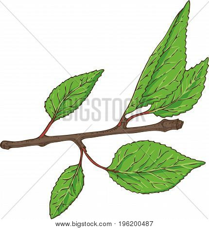 Apricot Branch with Green Leaves Isolated on a White