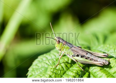 Macro shot of big green grasshopper. Grashopper is sitting on the fresh leaf and geting ready to jupm away. Dark green background is out of focus.