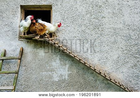 Two white hens and one red hen leaving coop and climb down the ladder. There are a big grey wall with significant texture.
