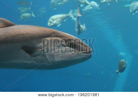 Bluefin tuna Thunnus thynnus underwater swims swimming