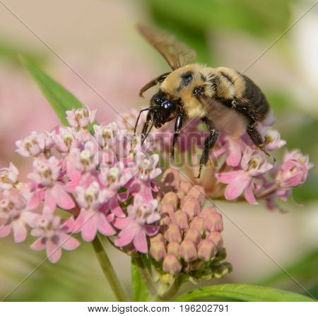 An American BumbleBee  (Bombus pensylvanicus) gathering nectar from the blossoms of a swamp milkweed in Taneytown, Carroll County Maryland, USA.