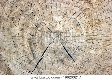 The Texture Of The Saw Cut Tree Trunk