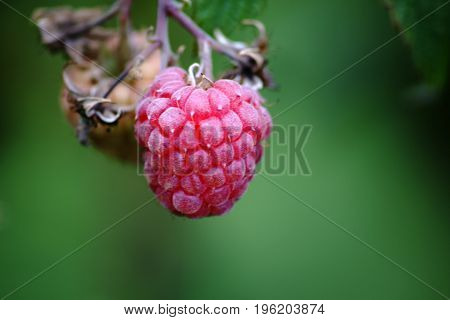 The close up of a plump and ripe red raspberry hanging on a raspberry shrub.