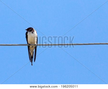 Swallow sits on an electric wire against a blue sky background