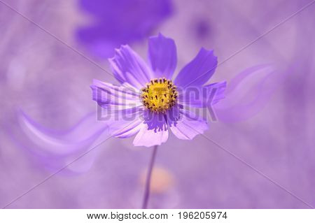 Flower cosmos purple toning with abstract petals