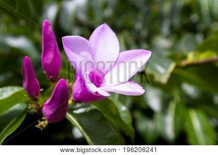 Tropical Purple Flower, Blooming
