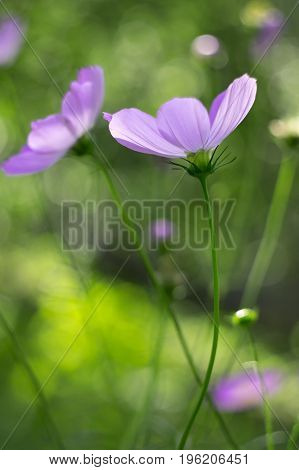 Delicate cosmos pink color on a green background. Soft focusartistic image