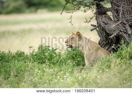 Side Profile Of A Lioness In The High Grass.