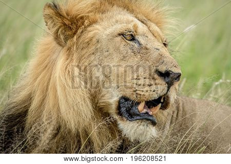 Side Profile Of A Big Male Lion.