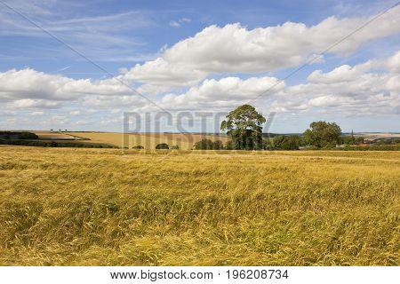 Ripening English Barley